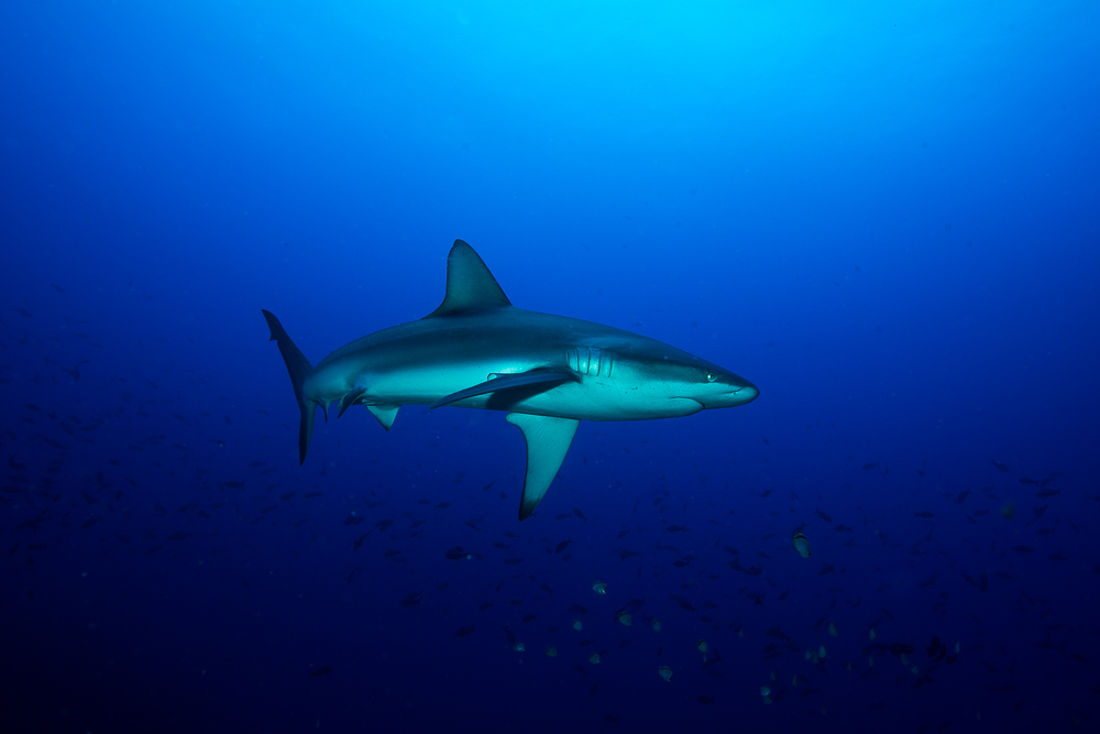 Requin des Galapagaos